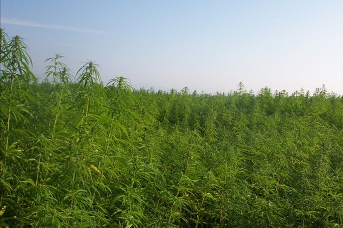 Industrial Hemp_6558596443921860303