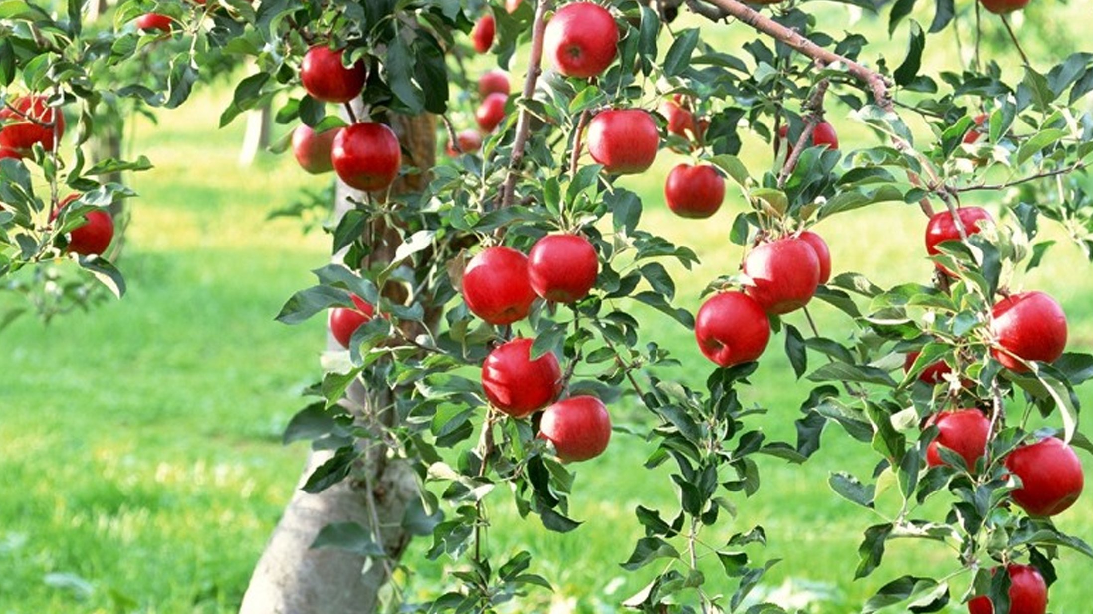 Tanners Apples 10182015_1455107015771.jpg