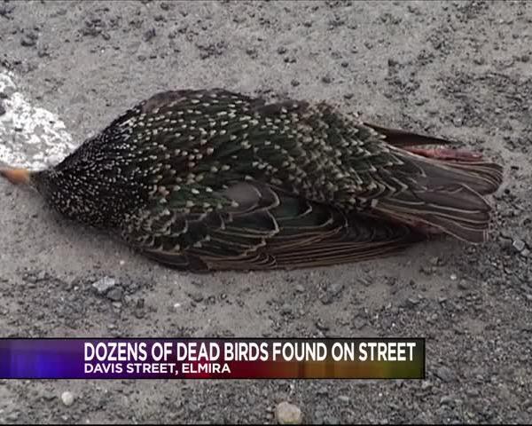 Dozens Of Dead Birds In Street_98678634-159532