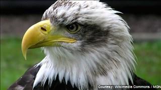 Bald Eagles_1465012061243.jpg