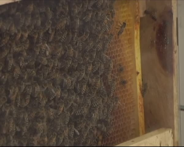 Declining Bee Population Effects Twin Tiers_09632137-159532