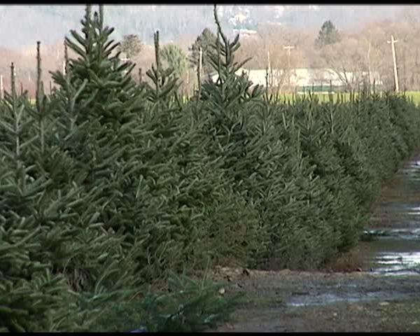 Insects Pose Small Problem for Real Christmas Trees_78915192