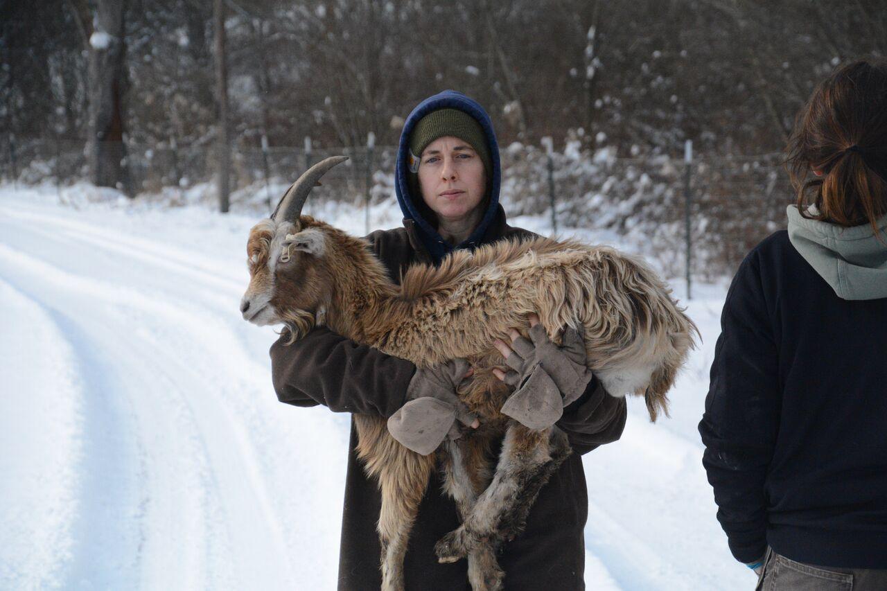 farm animal rescued