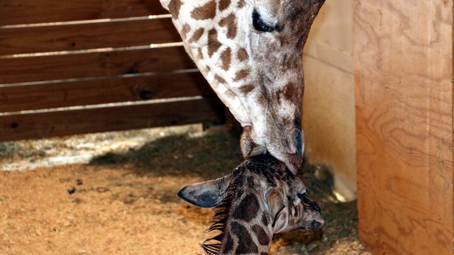 April the giraffe kisses baby_1494850054913.jpg
