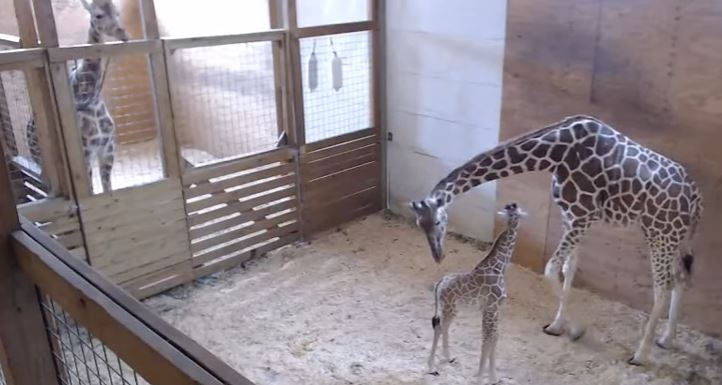april giraffe live stream with baby_1492783103377-118809258.JPG