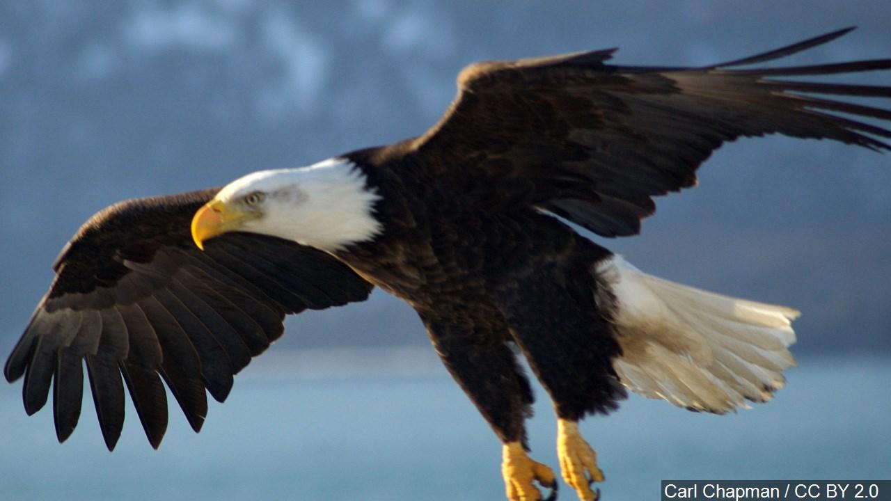 Bald Eagle_1500366616031.jpg