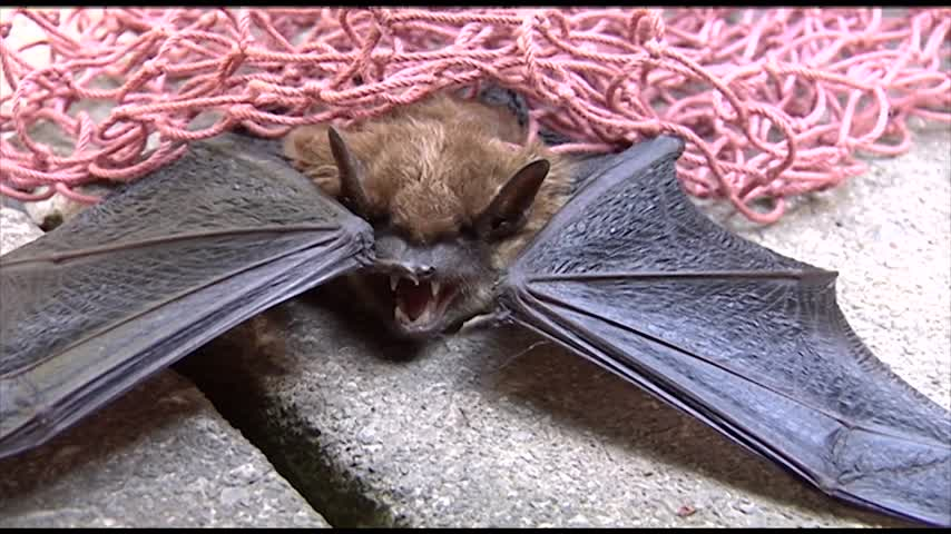 The Potential Dangers of Bats in your Homes