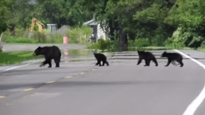 Black bear sightings in Wellsboro_71458453