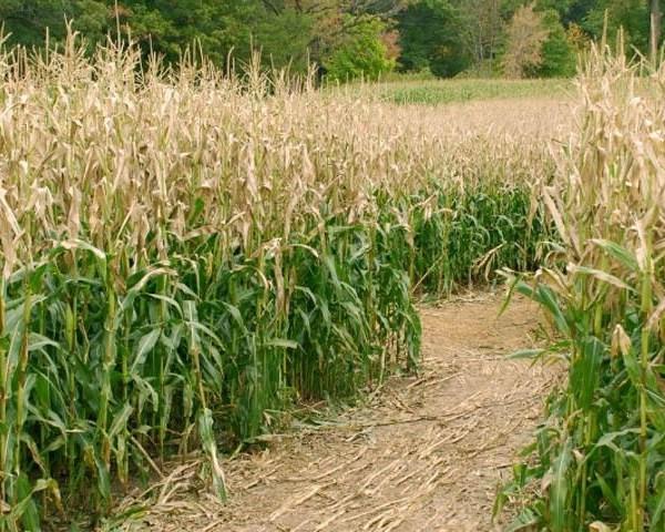 Corn maze iStock_1641956012679826-159532-159532-159532