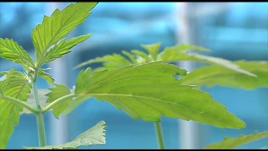 Special Report- Is Hemp the New Kale-_47706863