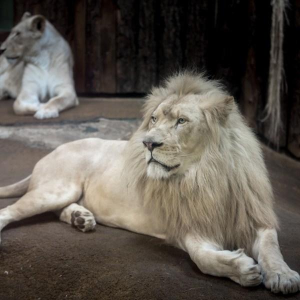 lion-2119448_1920_1526923086996.jpg