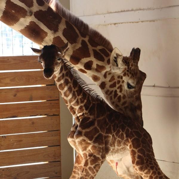 april giraffe and her calf_1492297688788-159532-159532.jpg32603505