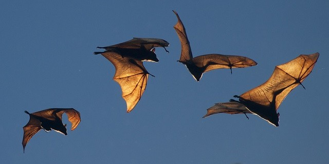 Flying-bats-640x320[1]_1540310173681.jpg