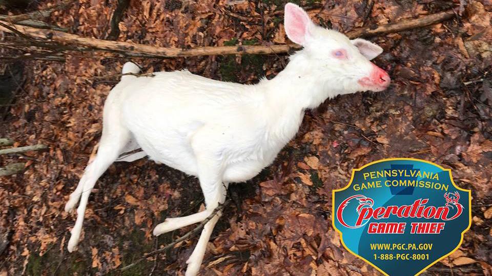 albino deer.jpg