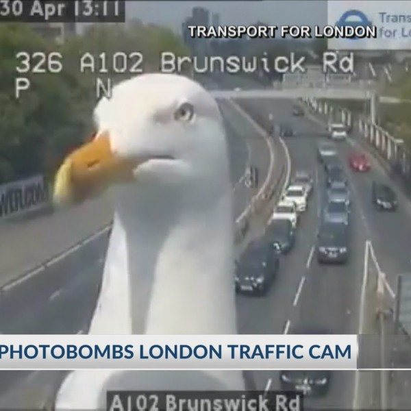 Seagull photobombs london traffic cam