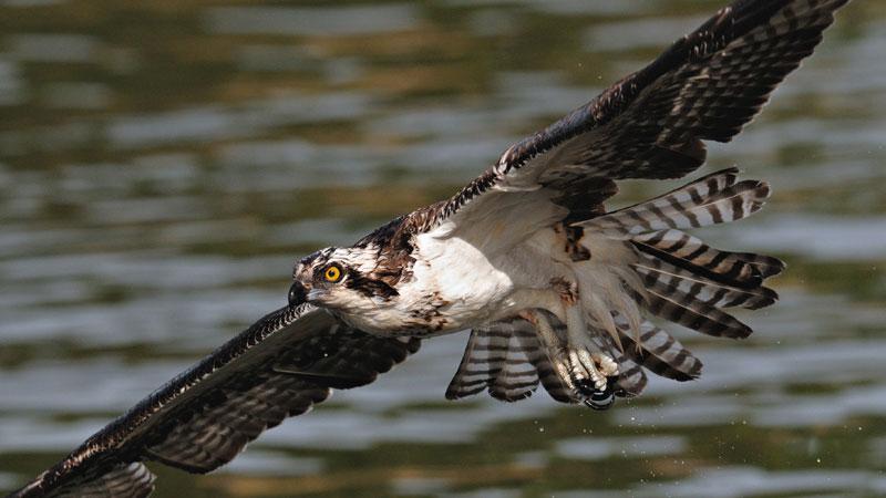 osprey_close_flight[1]_1557168076513.jpg