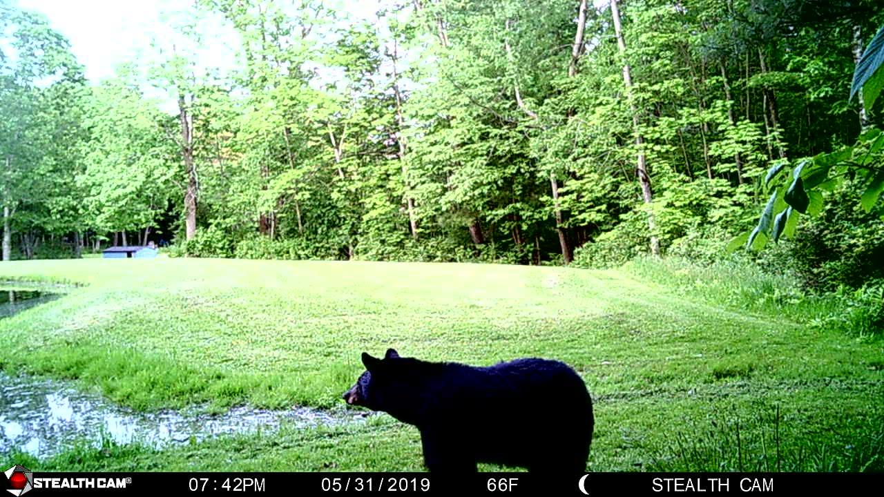 Bear in Corning