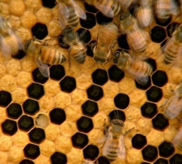 honeybees_38562595_ver1.0_1560973887447.jpg