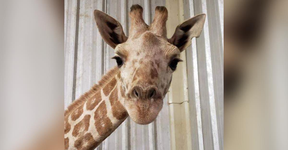 'Absolutely devastating': Last calf born to April the giraffe dies